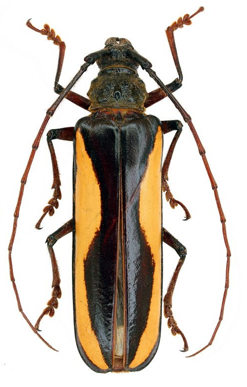 Macrocopturus suturalis