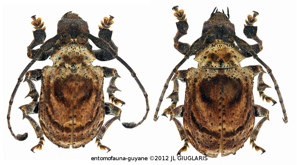 Onychocerus concentricus (couple)